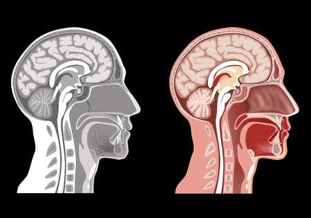 cerebral cortex: Human Head Anatomy Stock Photo