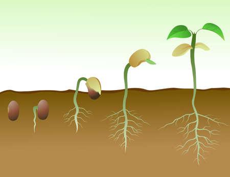 germinación: Secuencia de germinación de las semillas de frijol en el suelo