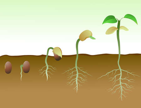 saplings: Sequence of bean seeds germination in soil
