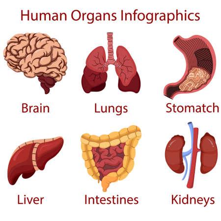 Human organs cartoon Infographics Иллюстрация