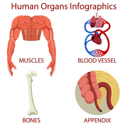 Human organs Infographics isolated on white background