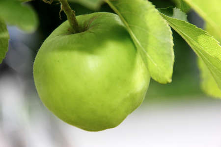 Green apple with leaves in nature