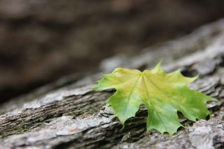 Colourful maple leaf on a tree trunk