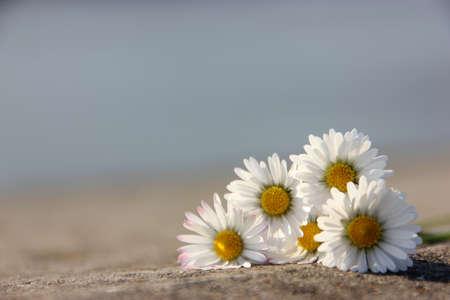 Daisies in sunshine Stock Photo