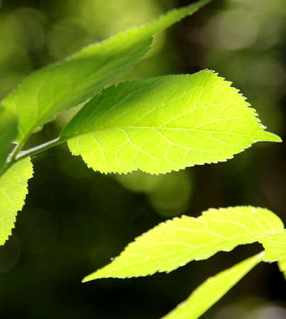 Leaves of a linden tree in the sunshine