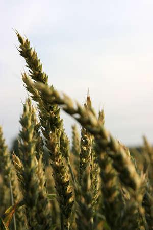 Ears in wheat field Stock Photo