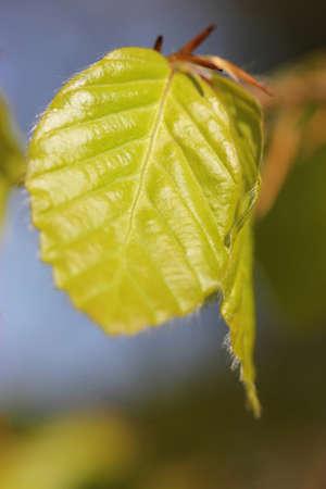 sunny  beech leaf