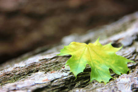 colorful maple leaf on a tree trunk photo