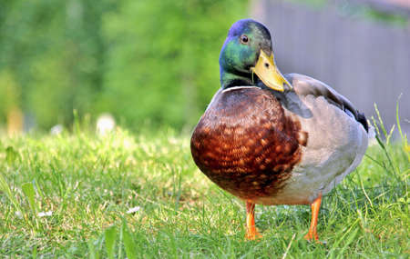Curious duck on a hill Stock Photo