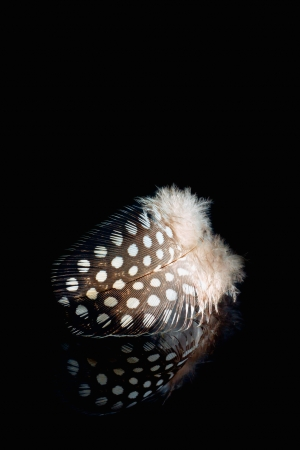 Soft and gentle jay feather on black mirror photo