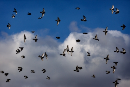 Flock of pigeons dancing on the afternoon sky photo