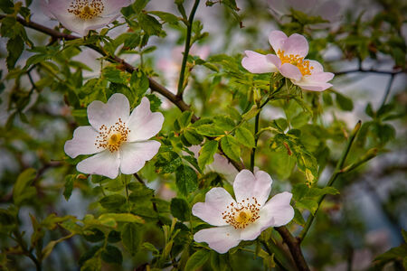Flowering shrub wild roses at the edge of meadows Stock Photo