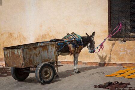 ass donkey: Waiting donkey on Marrakesh Market in Morocco