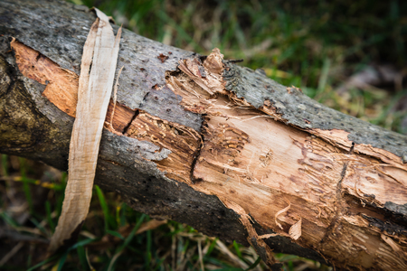 scraping: Tree stump with scraping and peeling bark Stock Photo