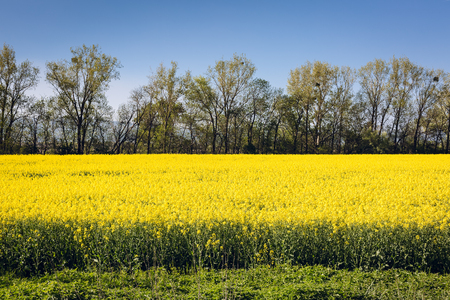 oilseed: Yellow spring field with blossom oilseed rape