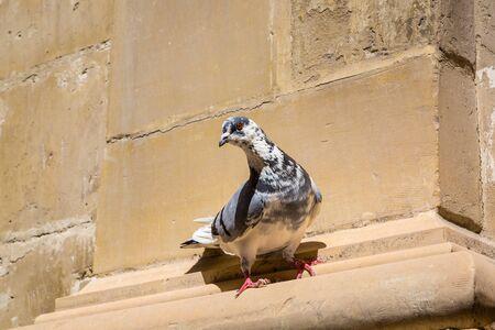 resident: Pigeon - Flying resident of Valletta, Malta