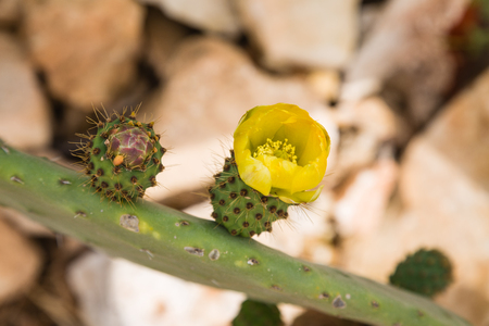 prickly pear: Flora on the island Malta - flowering prickly pear. Stock Photo