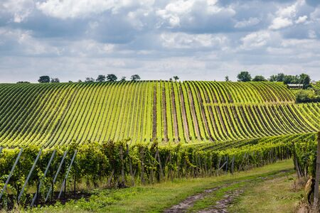 Vineyard in the area Velke Bilovice, the largest wine village in Moravia, Czech Republic