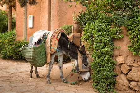 Donkey by Ozoud waterfalls. Donkey is the most common helper Moroccan villagers. Stock Photo
