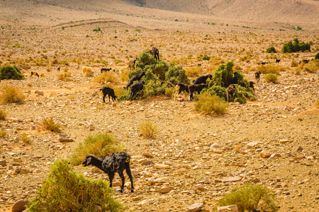 Goats grazing on stony ground plains of southern Morocco