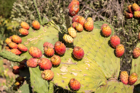 hillsides: Prickly pear fruits on stony slopes in the mountains of southern Morocco. Moroccans were often grown on hillsides barren mountains. Stock Photo