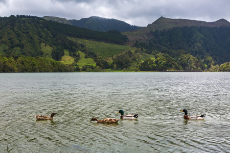 Wild ducks inhabit Blue and Green Lake. Blue and green lakes are located in the volcano craters of the island of Sao Miguel, part of the Azores. Stock Photo