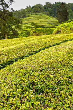 Tea Plantation at Cha Gorreana on Sao Miguel Island, the Azores archipelago in the Atlantic Ocean belonging to Portugal Stock Photo