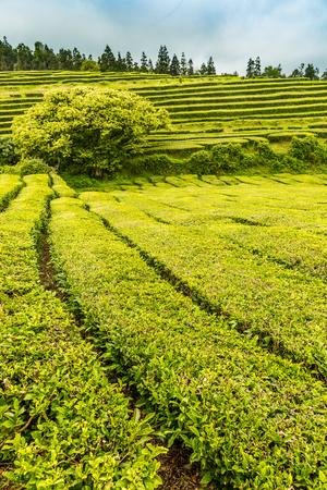 turismo ecologico: Tea Plantation at Cha Gorreana on Sao Miguel Island, the Azores archipelago in the Atlantic Ocean belonging to Portugal Foto de archivo