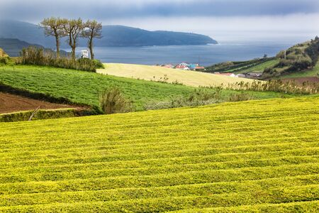 portugese: Tea Plantation at Cha Gorreana on Sao Miguel Island, the Azores archipelago in the Atlantic Ocean belonging to Portugal Stock Photo
