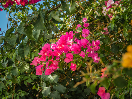 Shrubs and flowering in October in Faro, the capital of District Algarve, Portugal Stock Photo