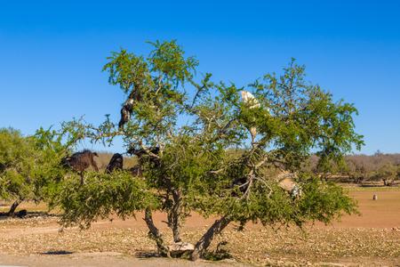 Goats grazing on an argan tree near Essaouira, Morocco Stock Photo