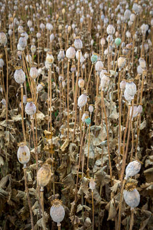 Field full of dry poppies. Farm fields in Slovakia. Stock Photo