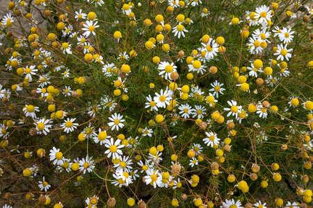 Wild camomiles in summer season. Farm fields in Slovakia. Stock Photo