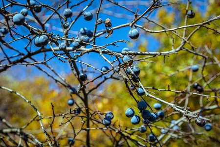 Rosehips and blackthorns - autumn fruits of nature. Hills above the town of Pezinok, Slovakia.