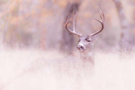 mule: Yosemite Mule Deer