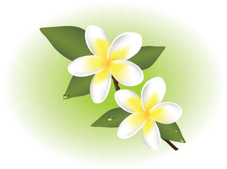 vector frangipani flowers Vector