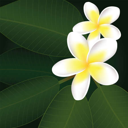 plumeria on a white background: vector frangipani flowers