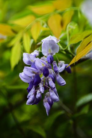 Wisteria Purple Plant Background Floral Stock Photo
