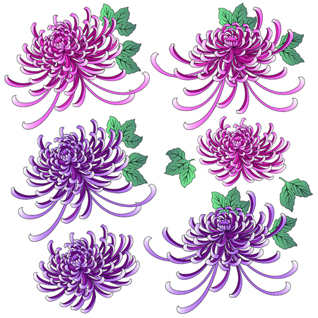 Chrysanthemum illustration