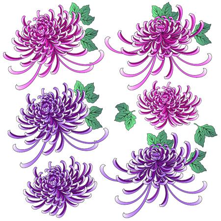 Chrysanthemum illustration