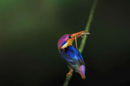 black backed kingfisher fedding in the forest of thailand photo