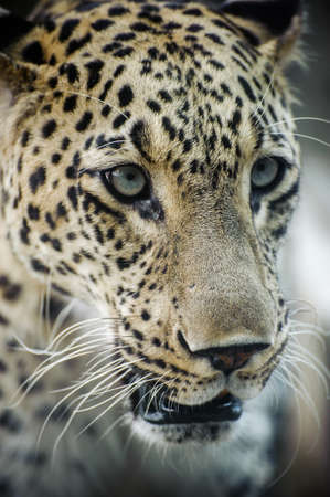 Close up on leopard s head