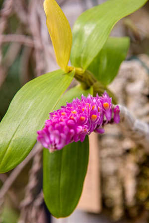 Toothbrush Orchid