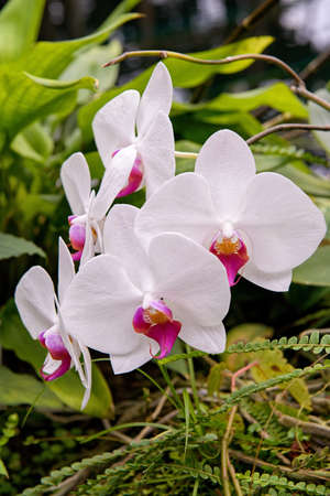 Mrs  Sander s Dendrobium orchid Stock Photo