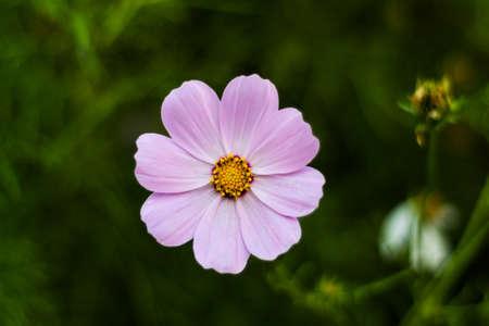 botanics: small pink flower close-up on blurred background