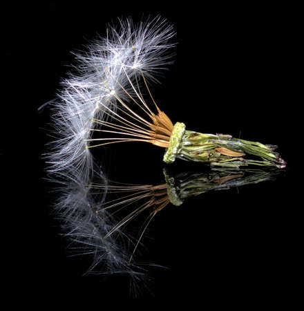 dandelion seedhead with dew reflection on black glass photo