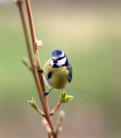 singing blue tit bird photo