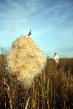 seeding: This close-up shot of a seeding prairie grass shows a girl on an autumn walk in the distance.