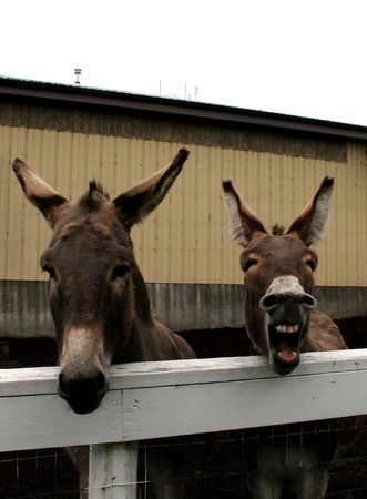 burrows: Two donkeys hee-hawing from over a fence.