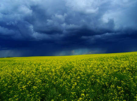 canola: A ripe crop of canola beneath a dramatic stormy sky.